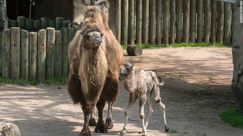 Hamilton Camel in Chicago